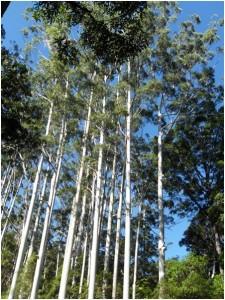fraser-island-eucalyptus-forest