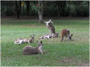 kangaroos-australia-zoo