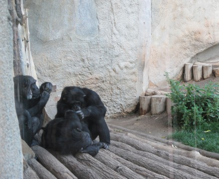 Leipzig Zoo Chimps