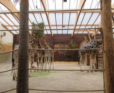 Leipzig Zoo Giraffe