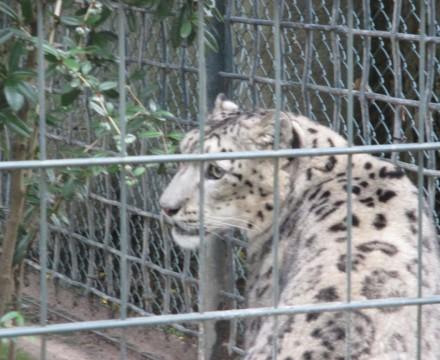 Leipzig Zoo Leopard
