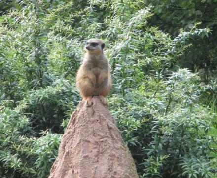 Leipzig Zoo Meerkat